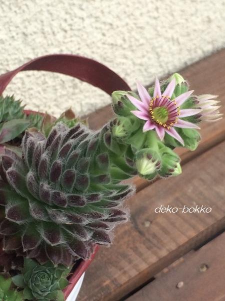 センペルビューム 寄せ植え 開花 201606-3