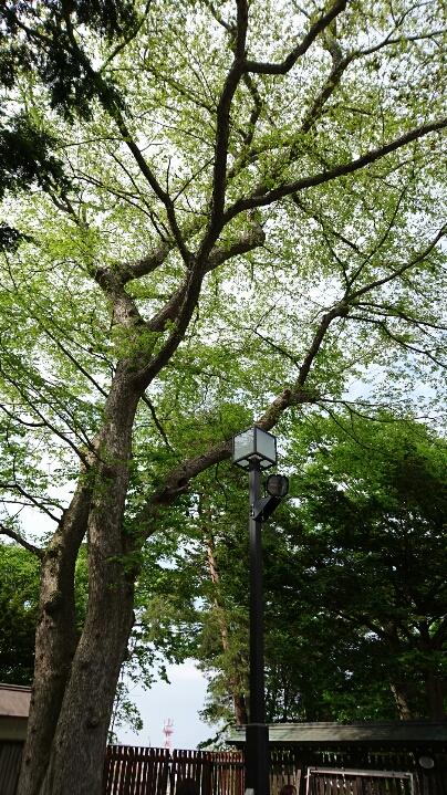 0531りすの上った神社の樹