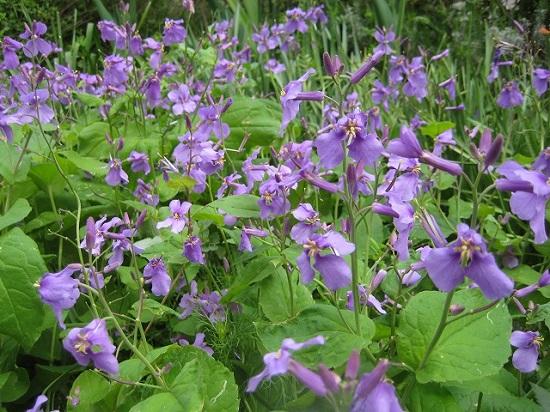 紫菜花003