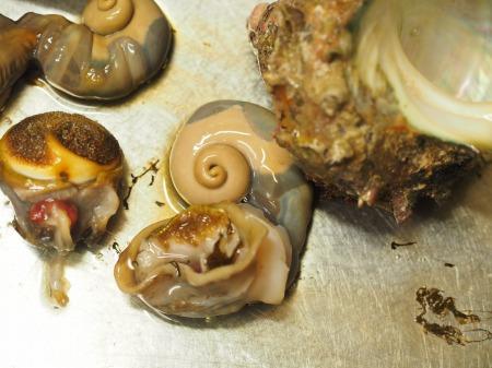 鯛とさざえの刺身、海鮮味噌15