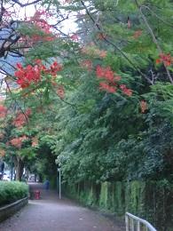 DSC_0193 (1)東涌 鳳凰樹