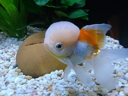 DSC_0400海洋公園金魚
