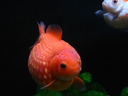 DSC_0390白点 金魚