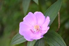 ピンクの花(S)