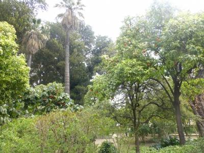 ムリーリョ公園⑤オレンジの木 2016 3・26