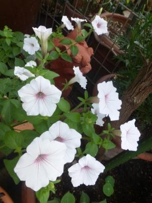 ペチュニア シルバーベリー 2016 6・7
