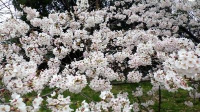 大泉緑地の桜(未公開分):2016年4月撮影