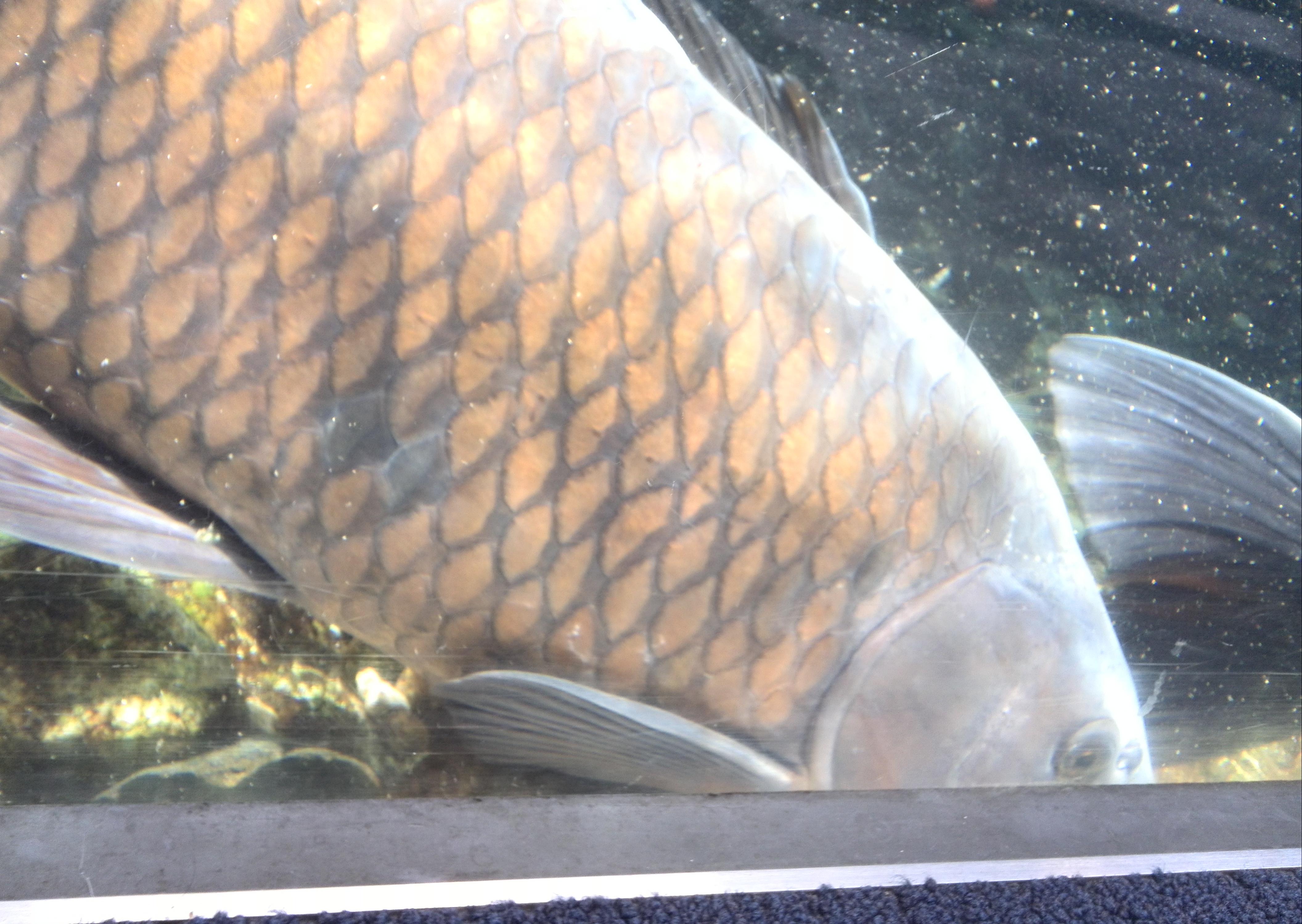 京都水族館の鯉