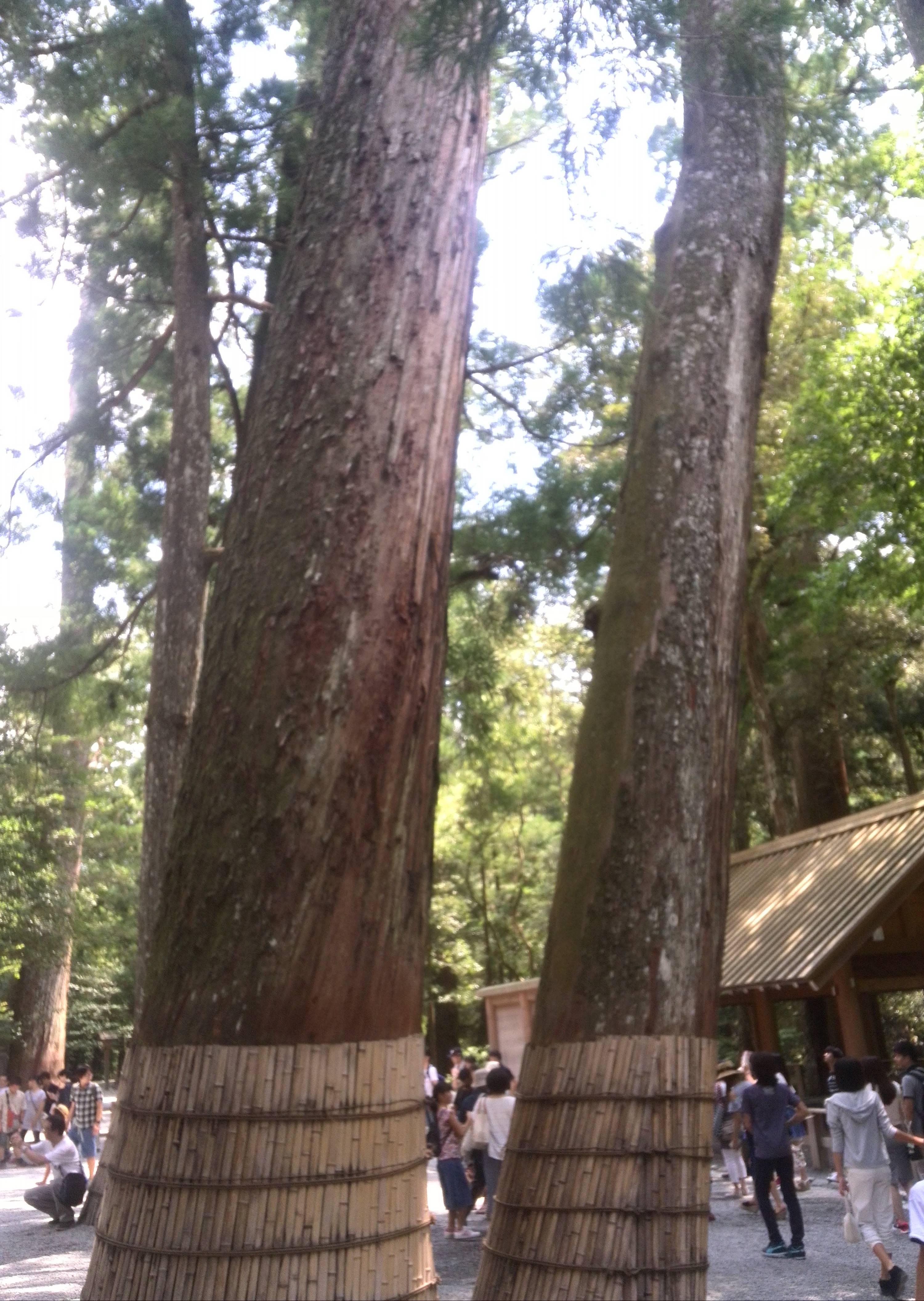 伊勢神宮に生えてる木達。神木とも言えるのか?