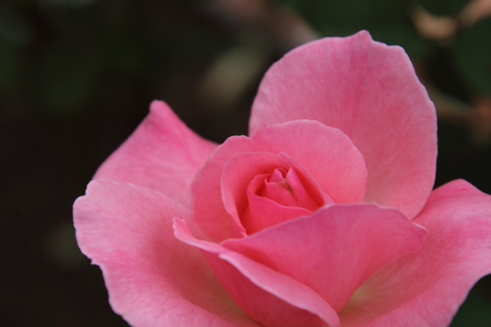 161023-rose-01.jpg