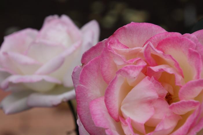 161023-rose-02.jpg