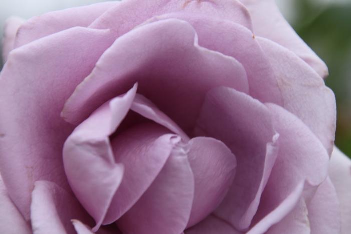 161023-rose-03.jpg