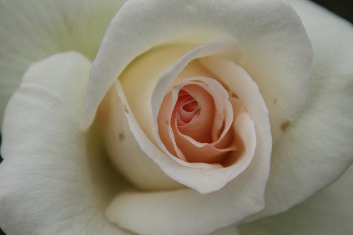 161023-rose-05.jpg