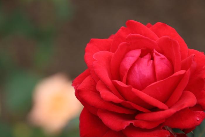 161023-rose-09.jpg