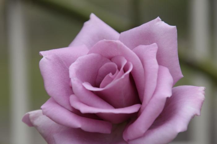 161023-rose-10.jpg