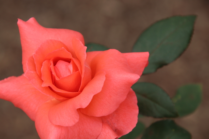 161023-rose-11.jpg