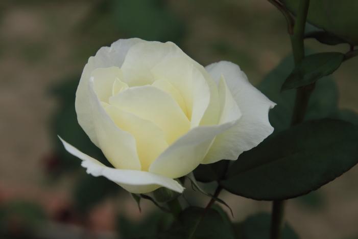 161023-rose-14.jpg