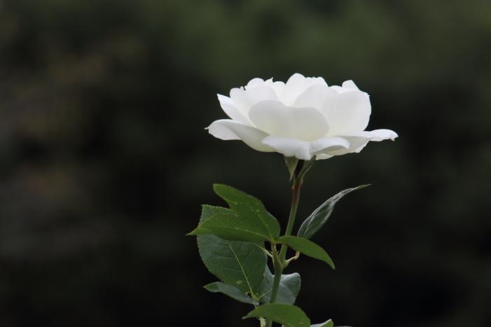 161023-rose-15.jpg