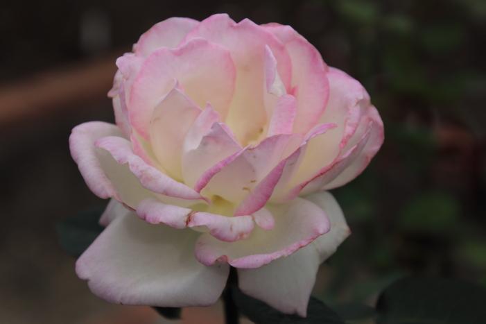 161023-rose-17.jpg