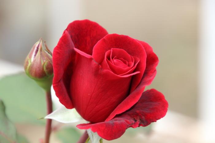 161023-rose-18.jpg