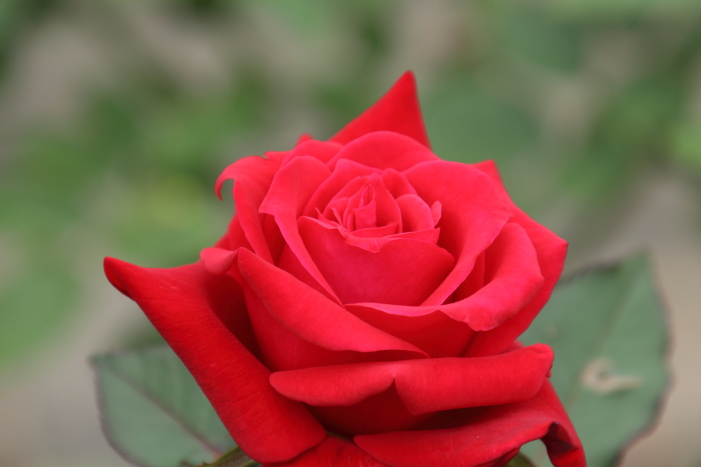 161023-rose-19.jpg
