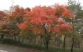 紅葉の季節 (7)