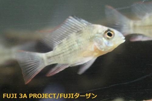 パピリオクロミスアルティスピノーサ