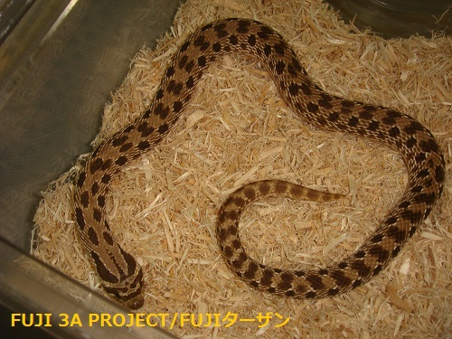 セイブシシバナヘビ