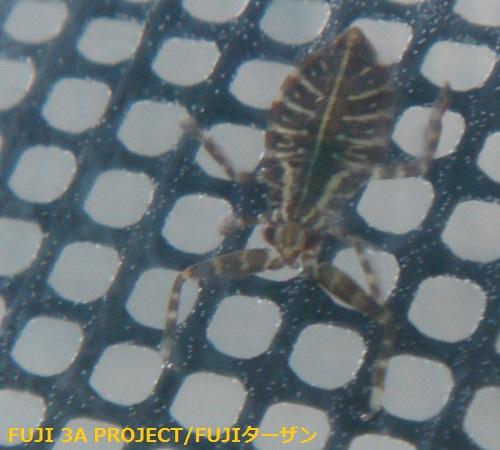 タガメ幼虫