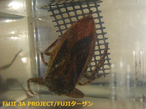 タガメ♀新成虫