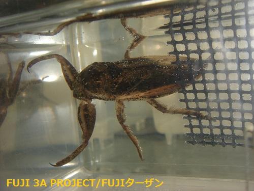 タガメ♂新成虫