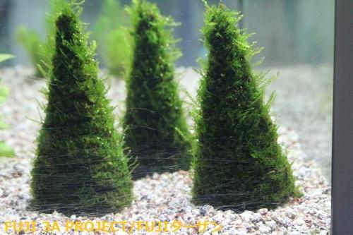 南米ウィロモスツリー