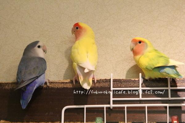 仲良し3羽2