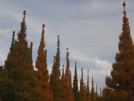 外苑銀杏並木4