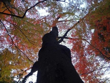新江戸川公園楓