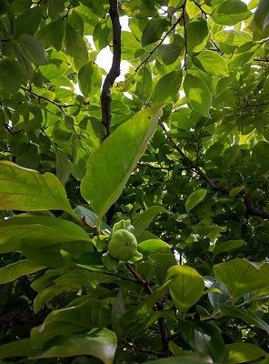 2016柿の実