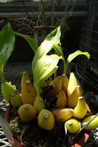 バナナか?