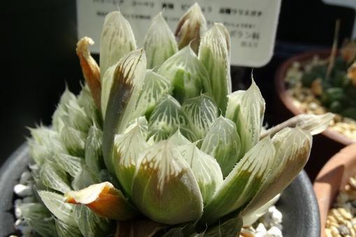 ハワーシア コーベリ(ツルボラン科) (2)