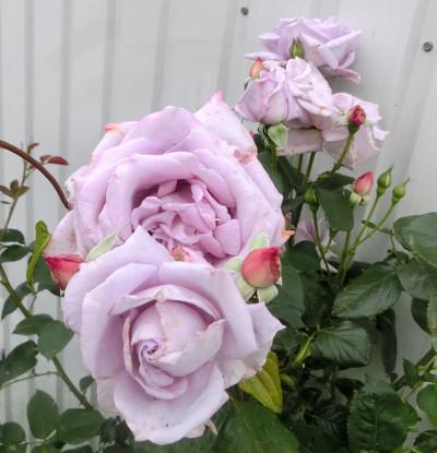 160530-バラ・ブルームーン-5