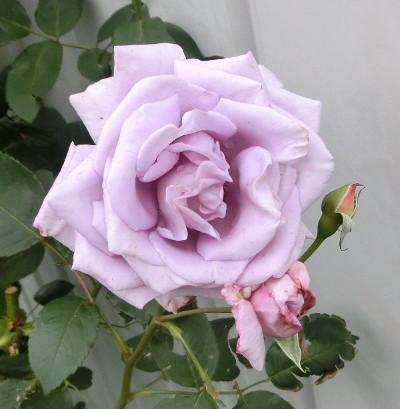 160530-バラ・ブルームーン-1