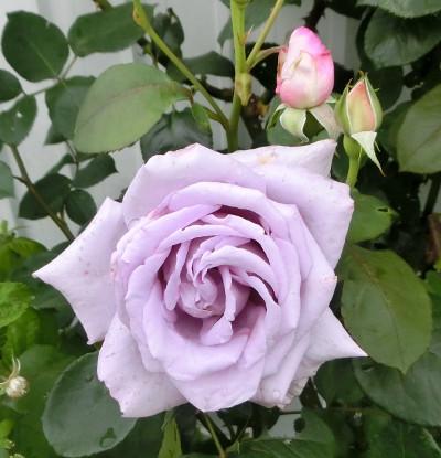 160530-バラ・ブルームーン-2