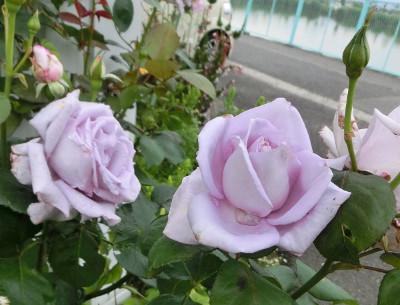 160530-バラ・ブルームーン-3