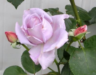 160530-バラ・ブルームーン-4