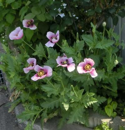 160712-禁断の花-2