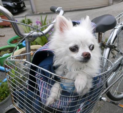 160712-銀ちゃんと自転車-2