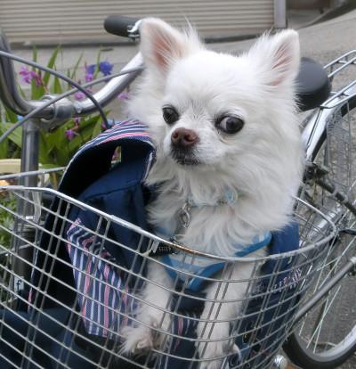 160712-銀ちゃんと自転車-3