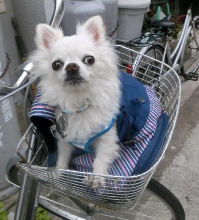 160712-銀ちゃんと自転車-1