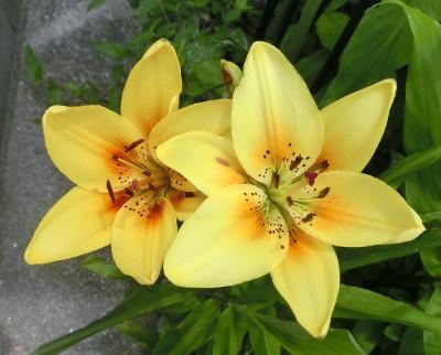 160721-花ユリ黄-1