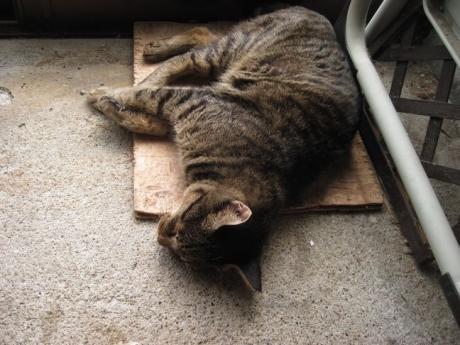 三和土で寝るジンジャー