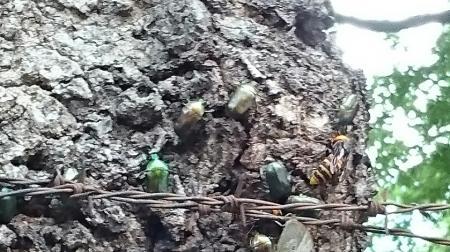 カナブンらが集まる木
